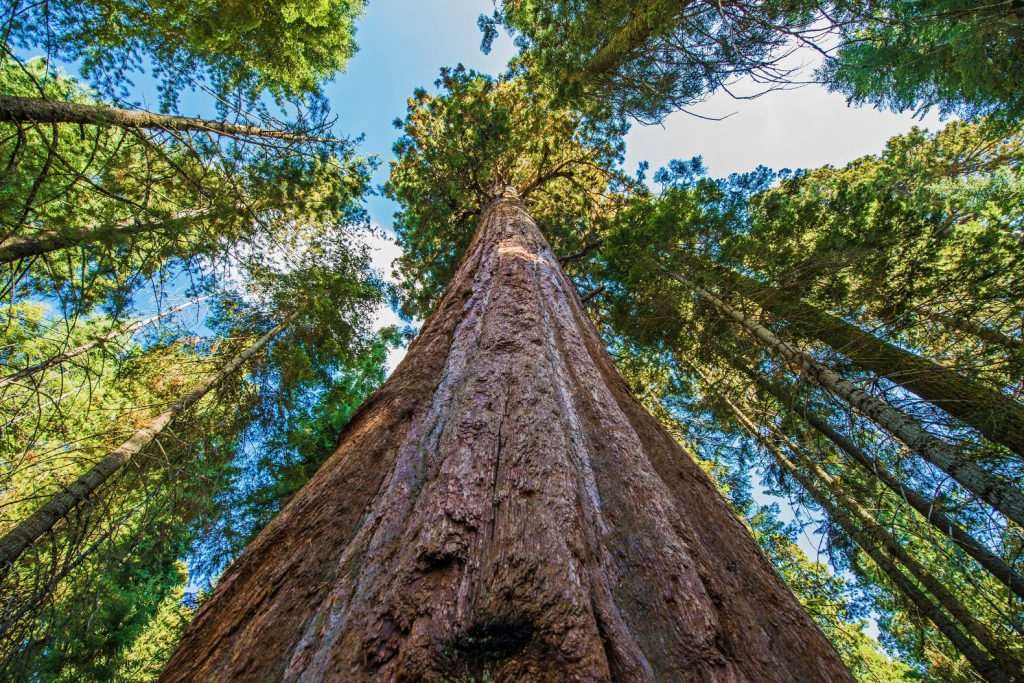 California-Redwood-Sequoia-Tallest-Tree
