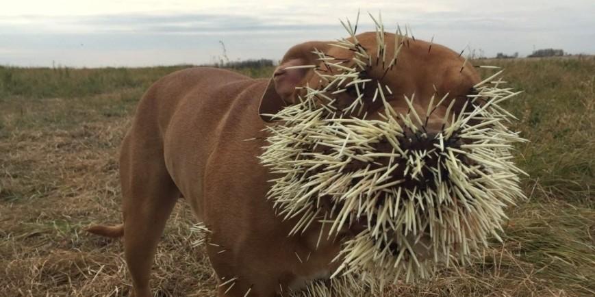 1-porcupine